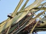 Tropical Kingbird on a nest