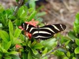 Zebra Heliconian (Heliconius charithonia)