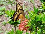 Thoas Swallowtail (Papilio thoas)