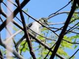 White-lored Gnatcatcher