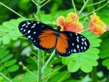 Hecale Longwing (Heliconius hecale)