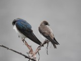 Bank Swallow with Tree Swallow