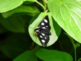Eight-spotted Forester (Alypia octomaculata) Hodges #9314