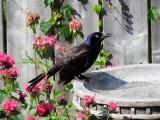 Common Grackle at birdbath
