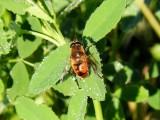 Drone Fly (Eristalis tenax)