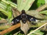 Bee Fly (Exoprosopa decora)
