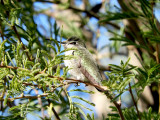 Hummingbird sp. (Anna's/Costa's)