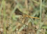 Zuidelijke heidelibel