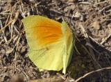 Citroenvlinder ssp. cleopatra