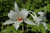 Dendrobium draconis zuivere wilde vorm, 6½ cm across