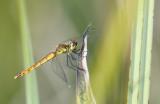 Kempense heidelibel vrouw - Sympetrum depressiusculum