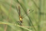 S. sanguineum, achterlijf naar de zon gericht tegen oververhitting