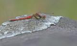 Sympetrum hypomelas, oostelijke heidelibel