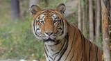 Bengal Tiger male - Dikke kater