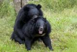 'K zag twee beren broodje smeren...