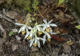 Pleione maculata habitat, altijd op verticale met mos begroeide rotswanden