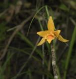 Dendrobium henryi, vaak maar 1 bloem,