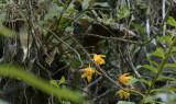 Dendrobium henryi, op dicht begroeide verticale rotswand, 1600 mtr, 300 mm telefoto