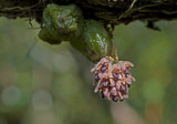 Bulbophyllum Dhaninvatii