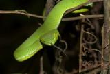 Groene boomadder
