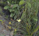 Spathoglottis eburnea habitat