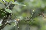 Cleisostoma simondii in Habitat
