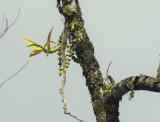 Dendrobium pendulum, 500 mm telephoto