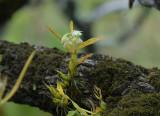 Dendrobium compactum on Anneslea fragrans