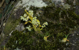 Dendrobium compactum op rots, on rock, 1300 mtr.