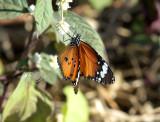 Kleine monarch - plain tiger