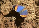 Orange oakleaf open, Kallima inachus