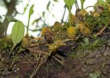 Bulbophyllum striatum