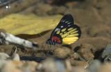 Red-base jezebel, Delias pasithoe
