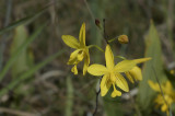 Spathoglottis Affinis