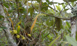 Bulbophyllum parviflorum