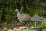 Kay faa, Nepal fazant, 450 mm telefoto