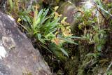 Paphiopedilum vilosum on rock, 1600 mtr.