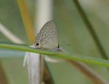 Jamides alecto, Metallic Cerulean female
