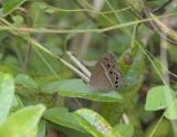 Mycalesis perseus, Bushbrown