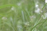 Anthogonium gracile in habitat 1350 mtr.