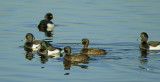 Kuifeend met nummer, het plastic beschadigt de stuitklier en de staartdekveren bij het invetten van de veren.