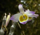 Dendrobium crystallinum, dark phase