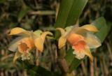 Dendrobium Cariniferum, wilde - niet geselecteerde of gemanipuleerde vorm