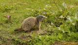 Alpen marmot.