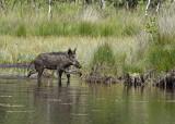 Wild varken, als vorige