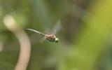 Glanslibel, Somatochlora flavomaculata, mannetje
