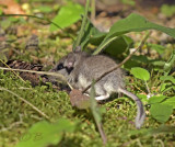 Micky mouse, Eliomys quercinus