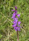 Orchis mascula subsp. speciosa