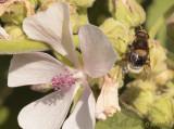 Hommelbijvlieg op heemst