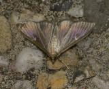 Buxusmot donkere vorm, bij bepaalde hoek parelmoerglans